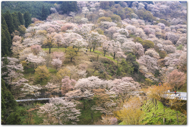 吉野山の下千本の満開の桜