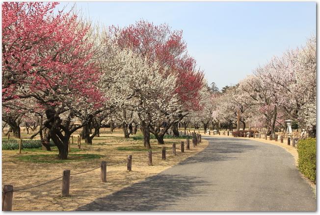 偕楽園の遊歩道の左右に並ぶ紅梅と白梅