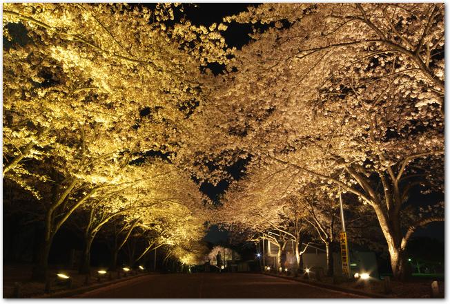 ライトアップされた万博公園の桜の様子