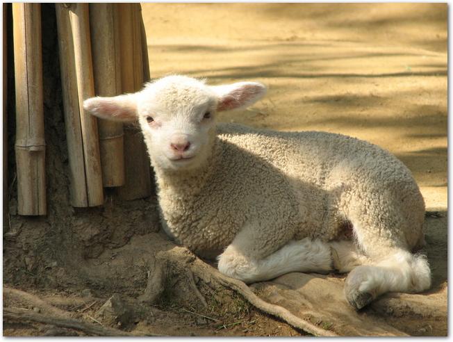 五月山動物園の子羊が座っている様子
