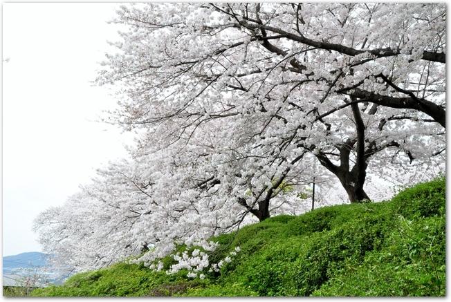 五月山公園の桜が満開になっている風景