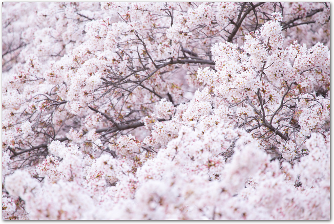 青空を背景に咲く土手の桜並木