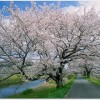 法勝寺の桜ライトアップはいつ?城山公園の見どころは?桜並木の歴史とは?
