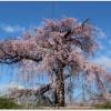 円山公園の桜の見ごろ札幌は?駐車場はあるの?ランチのおすすめは?