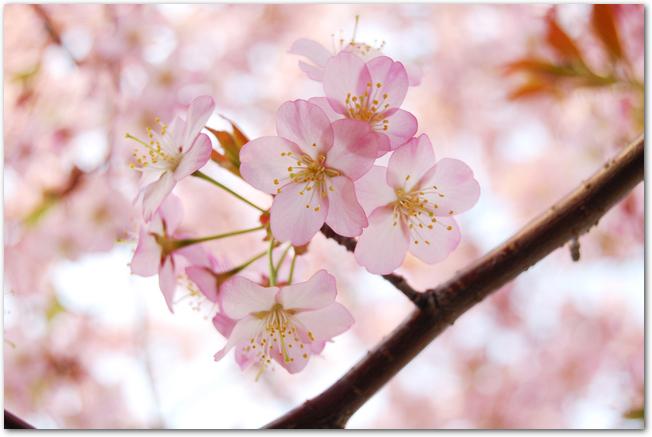 円山公園の桜の花のアップ