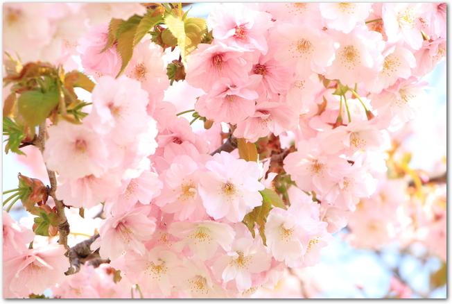 松前さくらまつり開催中の満開の桜の花