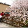 松前公園の桜の見ごろは?ライトアップされる?駐車場はある?