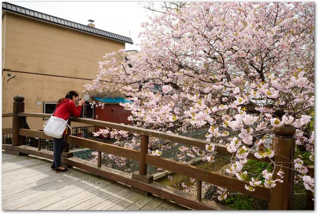 松前公園の満開の桜と橋