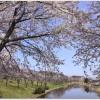 東明公園の桜まつりはいつ?花火があがる?駐車場はあるの?