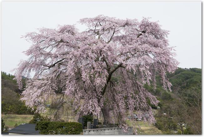満開に咲く福島県の三春滝桜の様子