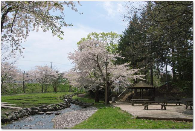 桜が満開になっている青葉ヶ丘公園の様子
