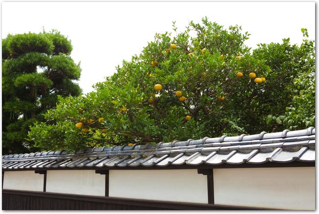 萩市の白壁からのぞく夏みかんの木