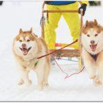 犬ぞり稚内大会とは?日程とアクセス、イベントや楽しみ方は?