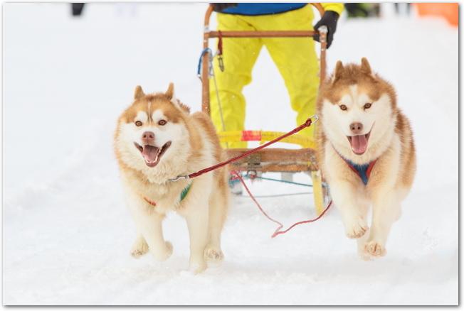 犬ぞり大会でそりを引っ張りながら疾走する2匹の犬