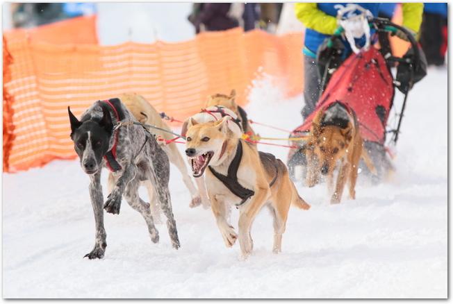 犬ぞり大会のレースで走っている5匹の犬たち
