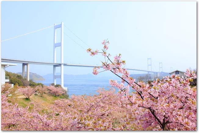 サンライズ糸山の満開の河津桜ごしに来島海峡大橋を臨む光景