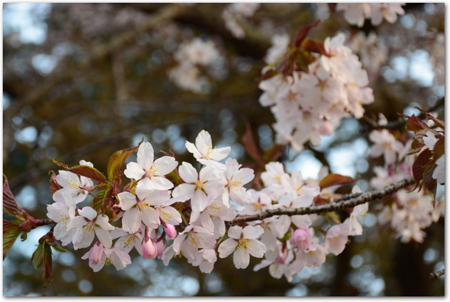二十間道路に咲く桜の花のアップ