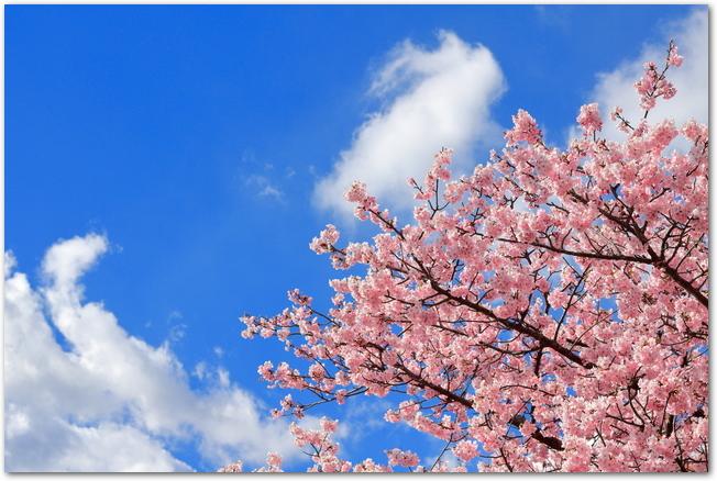 青空と旭山公園の満開の桜の光景