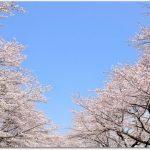登別の桜とは?桜並木がすごい?温泉と周辺観光は?