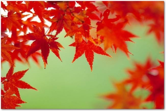 緑色を背景にした色づいた紅葉の葉