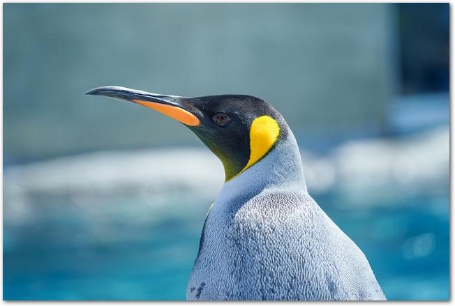 旭山動物園のキングペンギンの顔のアップ