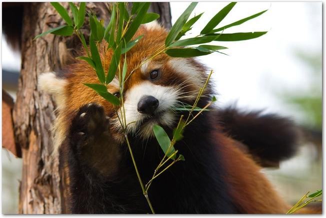 エサの葉っぱを食べているレッサーパンダの様子