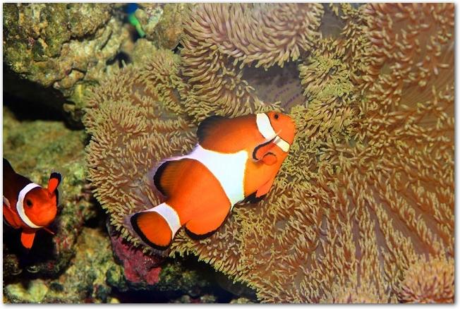 サンゴの側を泳ぐ二匹のカクレクマノミ