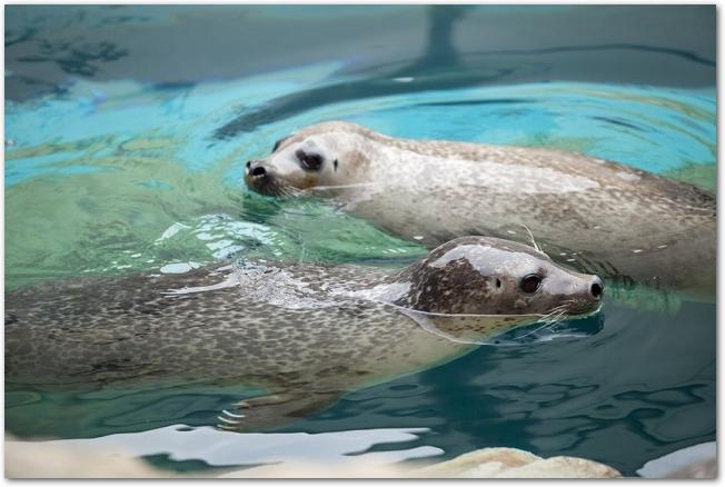 水族館で泳いでいる二頭のゴマフアザラシの様子