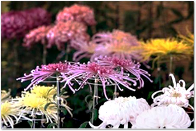 白色や紫色などをした様々な菊の花が並んでいる様子