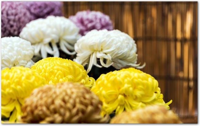 黄色や白などの菊の花が並んでいる様子